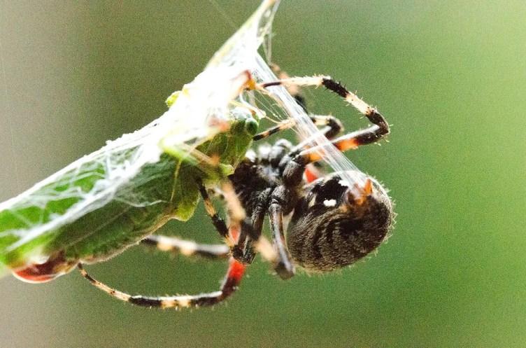 Garden Orb Weaver with prey
