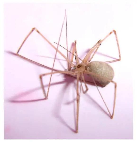 6 eyed cellar spider Pholcidae spider