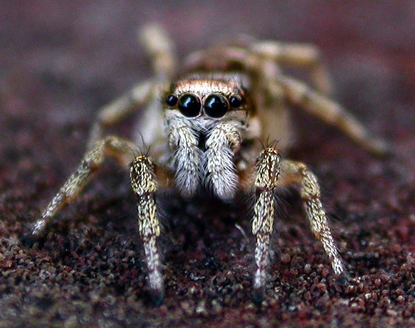 Jumping spider eyes again