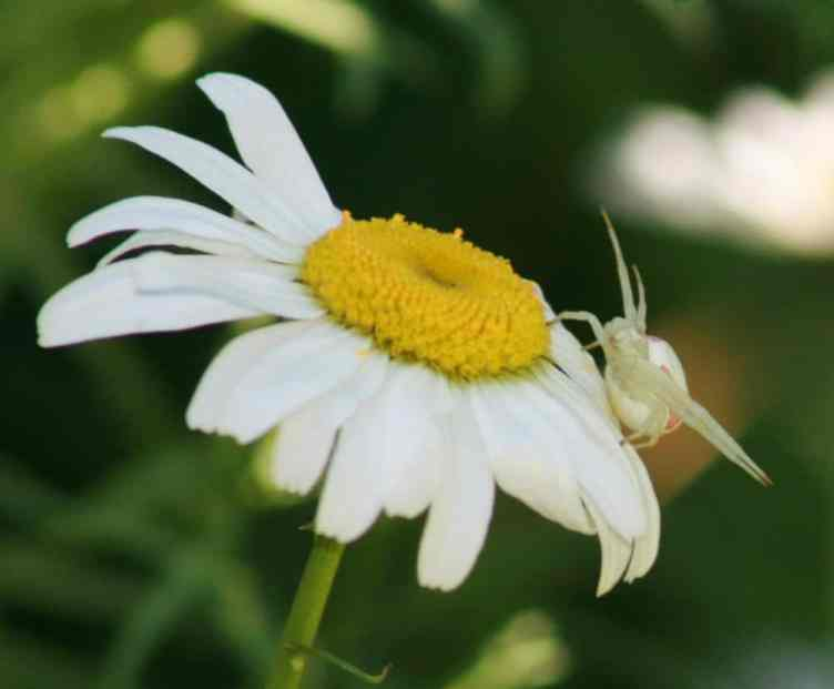 White Crab Spider 24