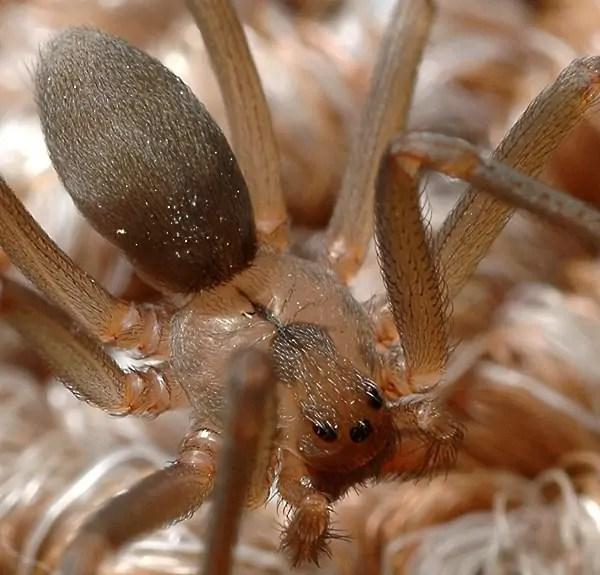brown recluse loxosceles reclusa closeup