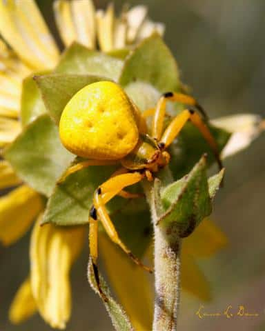 Yellow Crab Spider