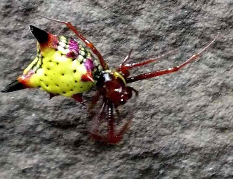 Arrow Shaped Micrathena red yellow