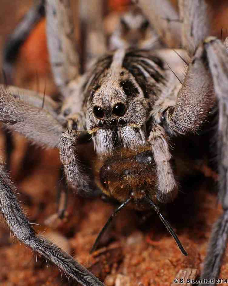 Wolf SPider with Bee