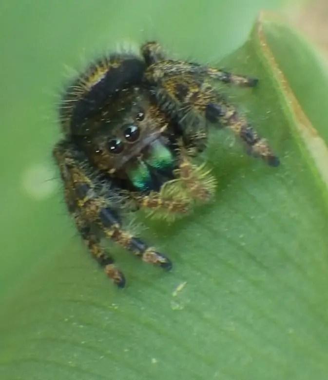 Daring Jumping Spider closeup eyes