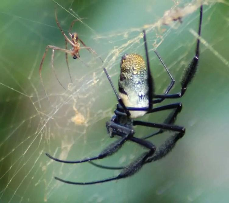 Nephila sp. South Africa