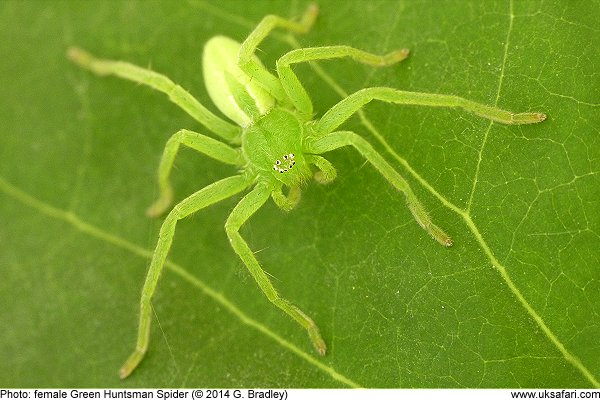 Green Huntsman