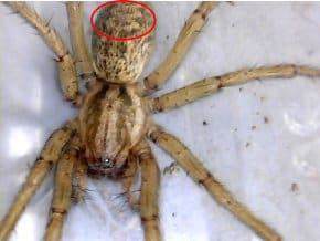 hobo spider identification tips