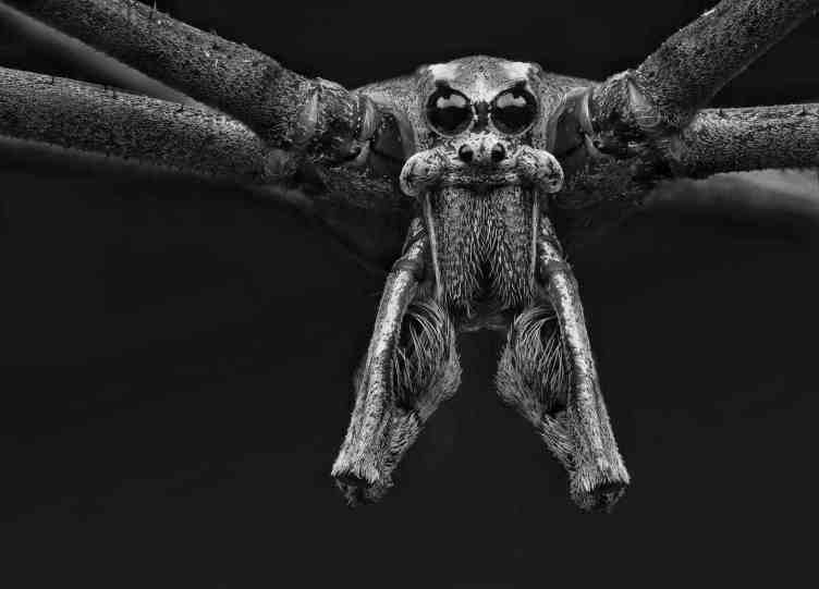 Ogre faced spider closeup eyes fangs