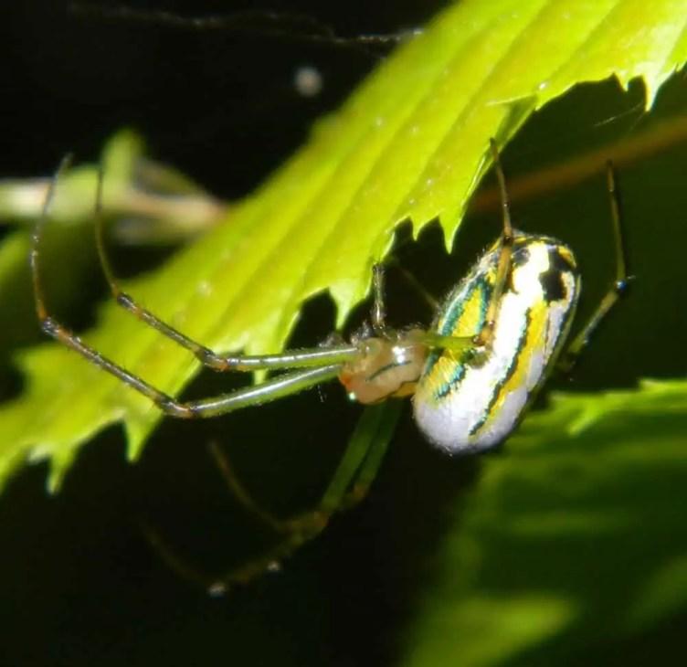 Venusta Orchard Spider behind white yellow