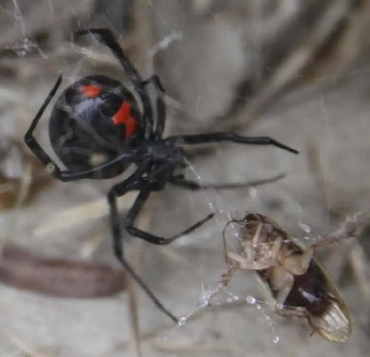 Black Widow with prey