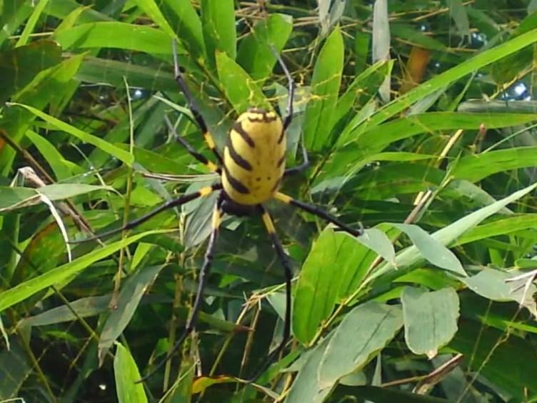 Nephila sp. Congo