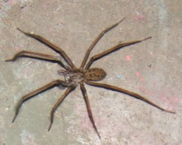 Hobo spider eratigena agrestis