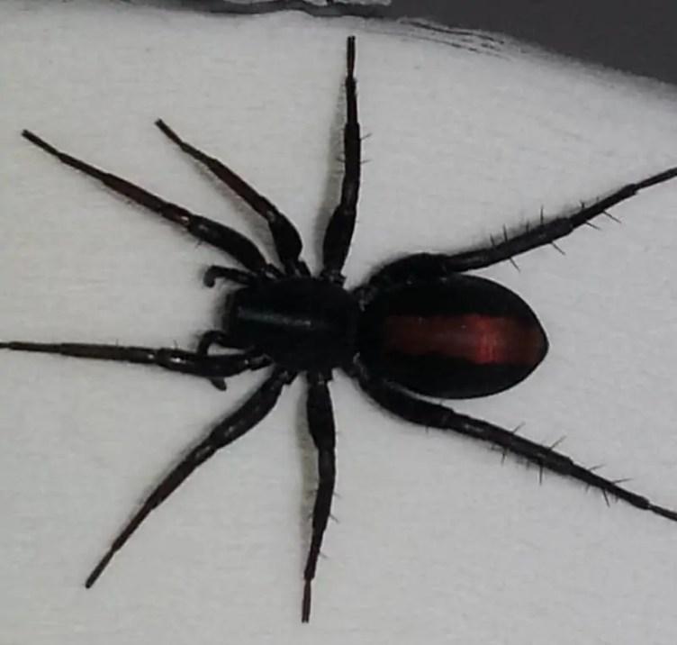 Red Spotted Ant Mimic Spider castaniera descripta