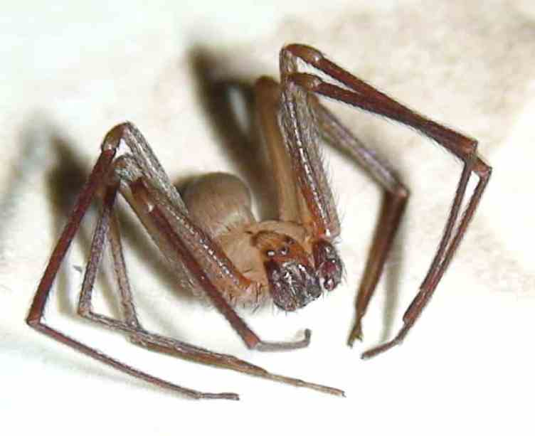 Brown Recluse closeup
