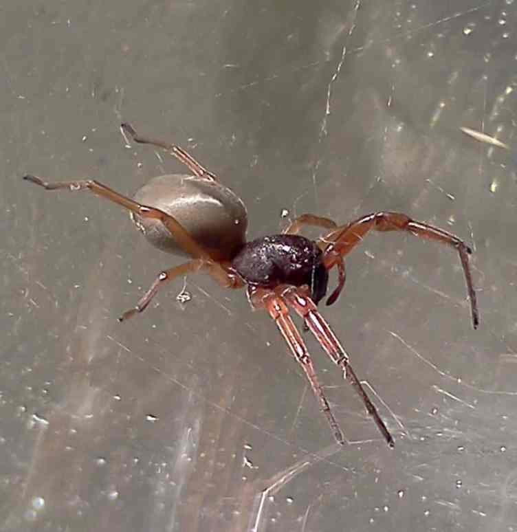Broad Face Sac Spider