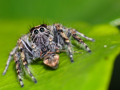 Jumping Spider large eyes cute closeup