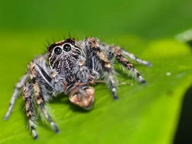 Jumping Spider large eyes cute closeup