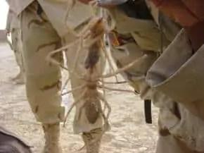 iraq scorpion