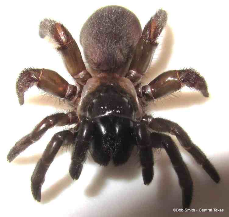 Mouse Spider australia closeup fangs