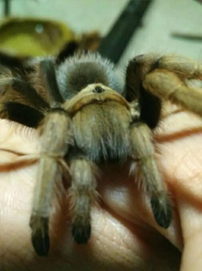 Tarantula fangs closeup