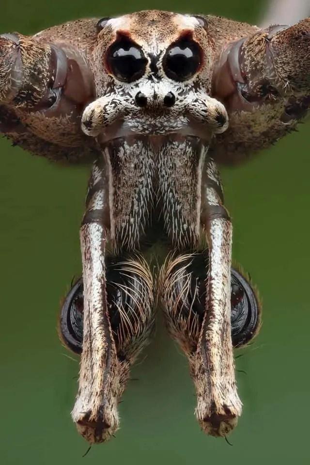 Ogre faced spider closeup eyes fangs Deinopis subrufa