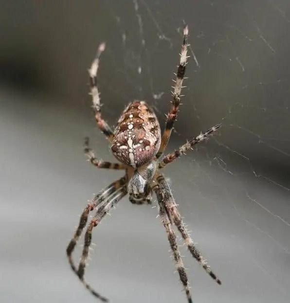 Araneus Diadematus cross orb weaver in web closeup