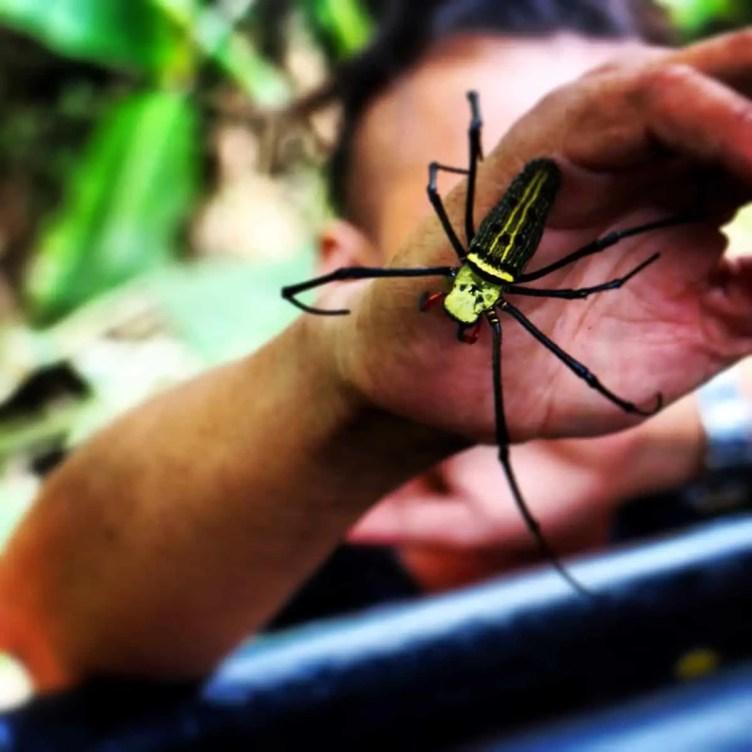 Nephila sp. Thailand
