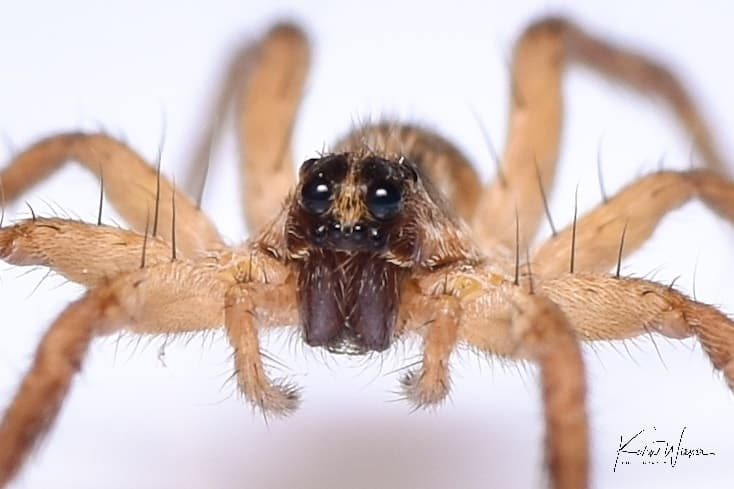 Wolf Spider by Kevin Wiener eyes closeup