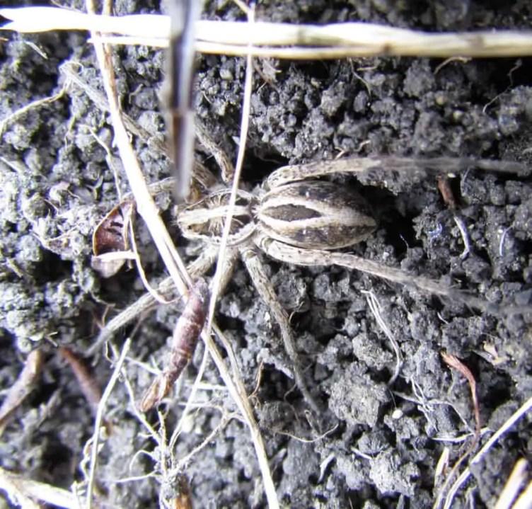 Rabid Wolf Spider rabidosa rabida