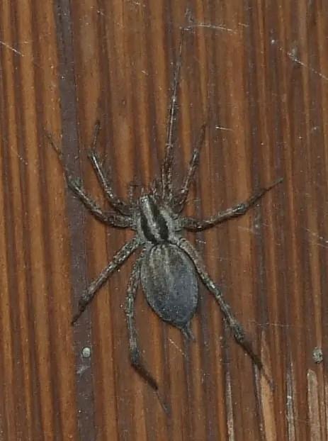 Female Grass Spider