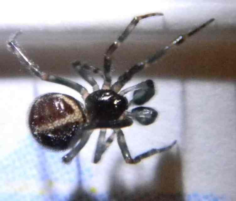 Male Steatoda Bipunctata