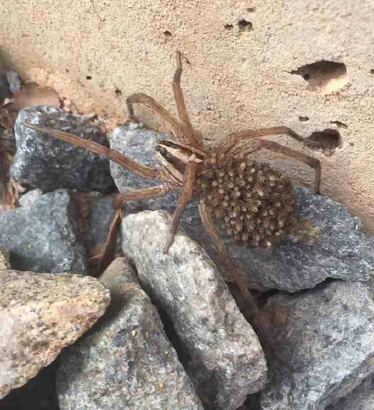 Rabid Wolf Spider rabidosa rabida with spiderlings