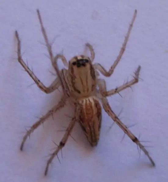 Lynx Spider brown