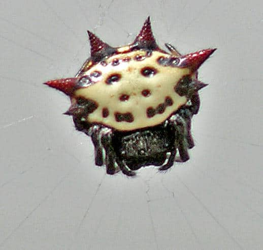 Jewelled Spider red white black