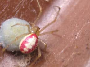 Candy Stripe Spider with egg sac