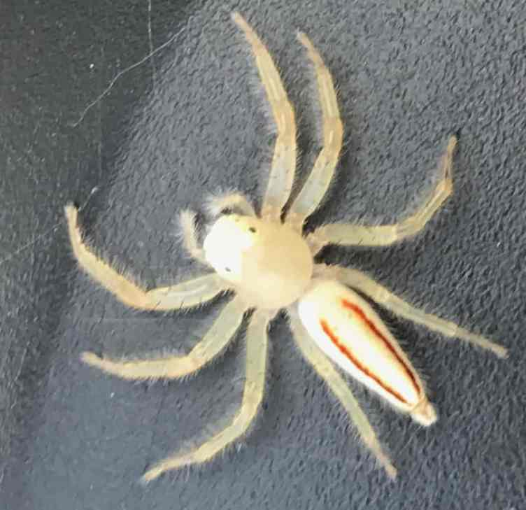 Jumping Spider white red