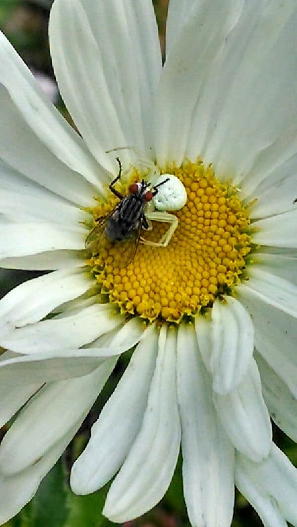 White Crab Spider with bee