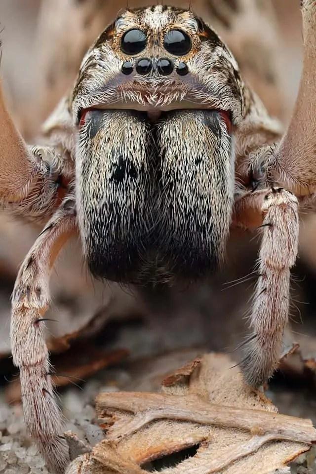 Wolf spider – Lycosidae, Central Coast N eyes face closeup