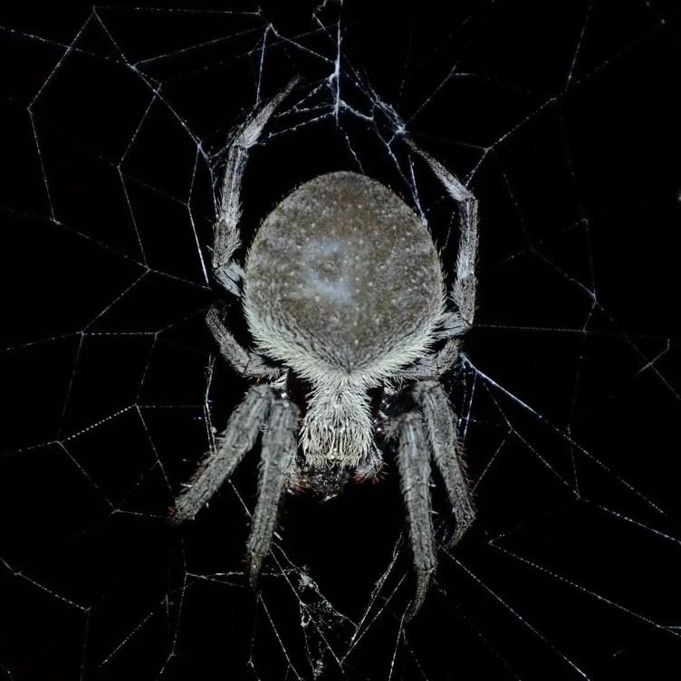 Garden Orb Weavers in web dark