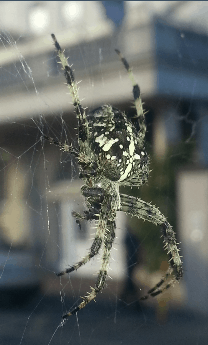 Araneus Diadematus cross orb weaver from side in web