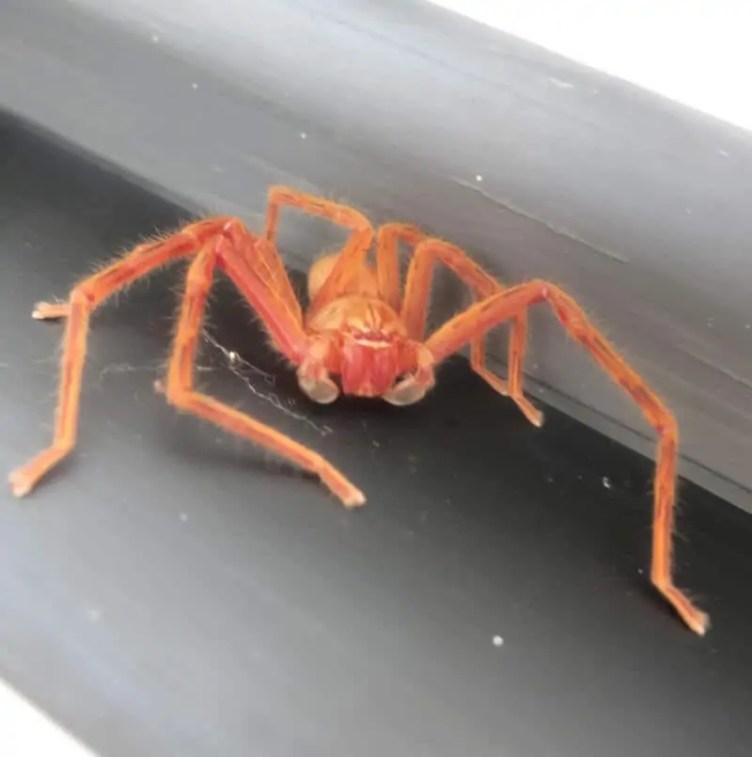 Huntsman Spider orange red