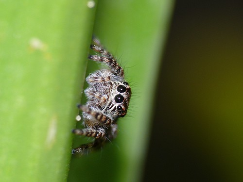 Jumping Spider closeup cute
