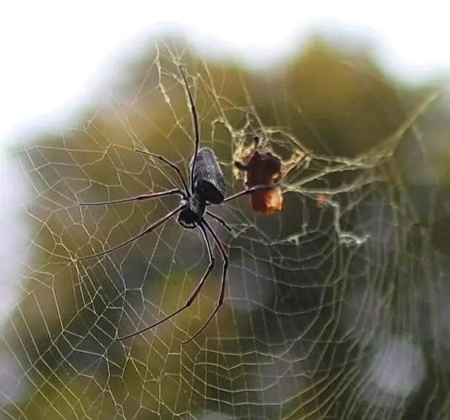 Nephila sp. Thai Meuang