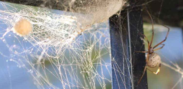 Brown Widow in web with egg sac