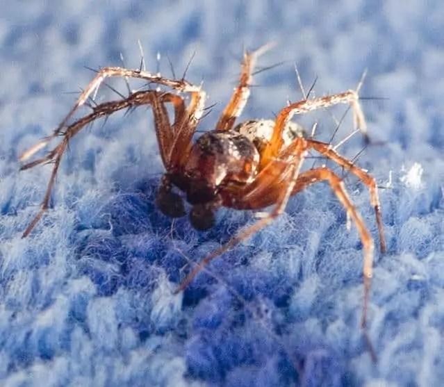 Lynx Spider orange