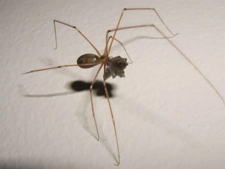 cellar spider pholcidae