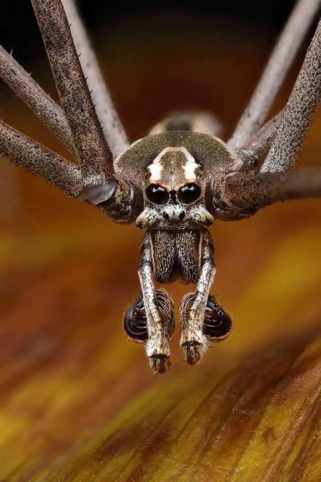 Ogre-faced Spider (Deinopis subrufa) closeup
