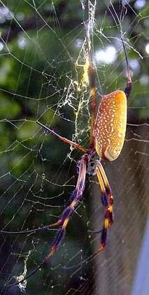 banana spider in web nephila clavipes