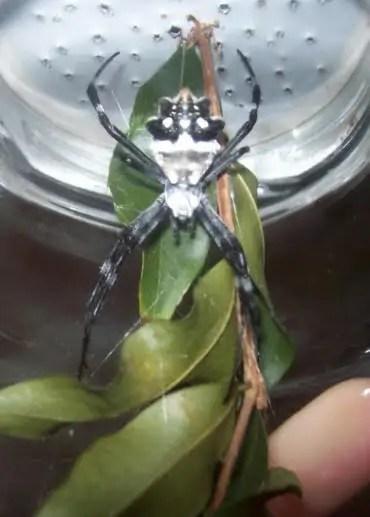 Silver Argiope argentata